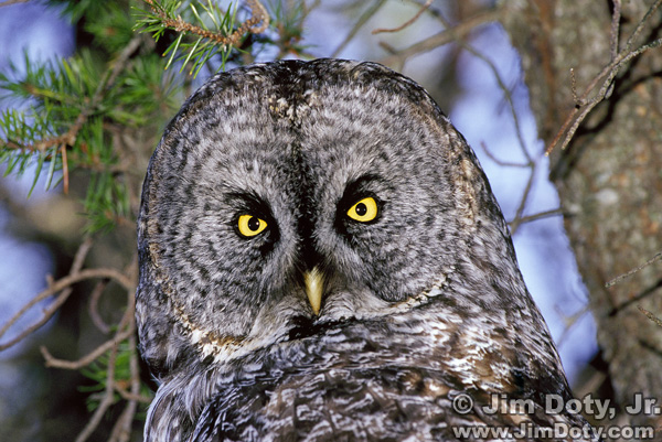 Great Gray Owl, Whitefish Point, Michigan's U.P.