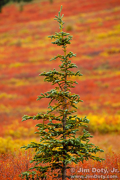 Autumn on the Taiga. Denali National Park.