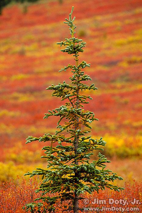 Autumn on the Taiga. Denali National Park.