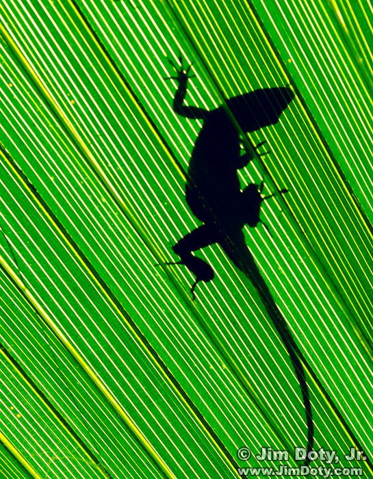 Green Anole's shadow on a Palmetto Frond
