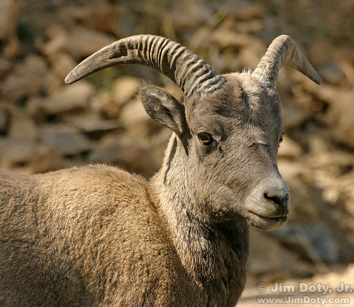 Bighorn Sheep, Guanella Pass, Colorado