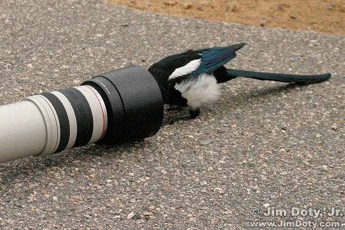 Magpie Meets Lens