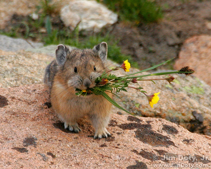 Pika, Rocky Mountain National Park