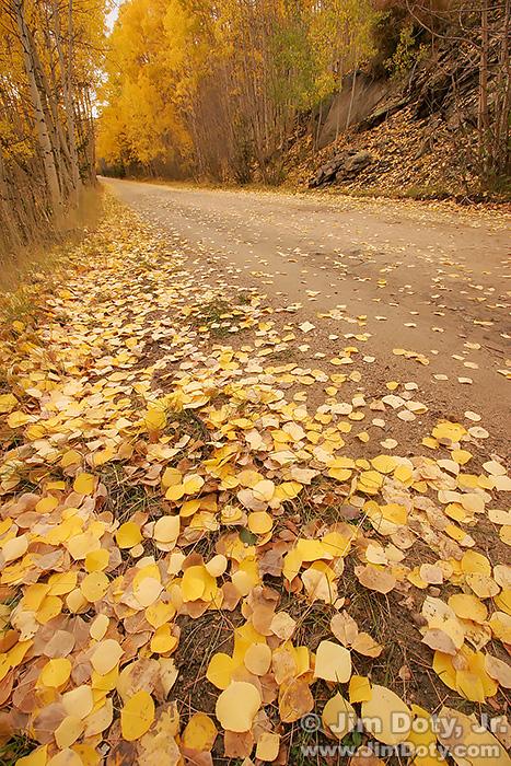 Aspen Leaves, Marshall Pass, Colorado