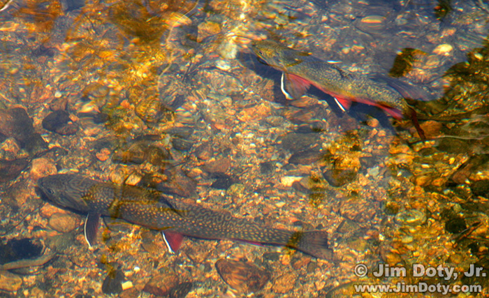 Brook Trout in a Stream near Sprague Lake, RMNP, Colorado.