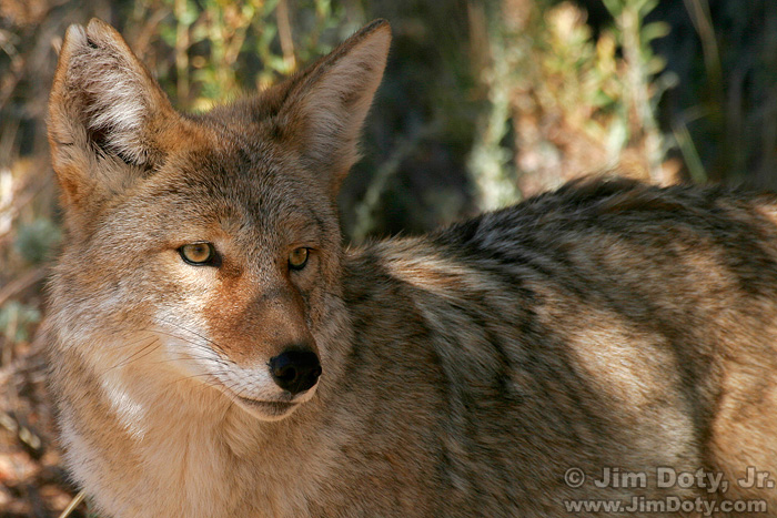 Coyote, Rocky Mountain National Park
