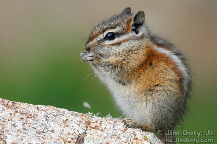 Least Chipmunk Eating Grass Seeds