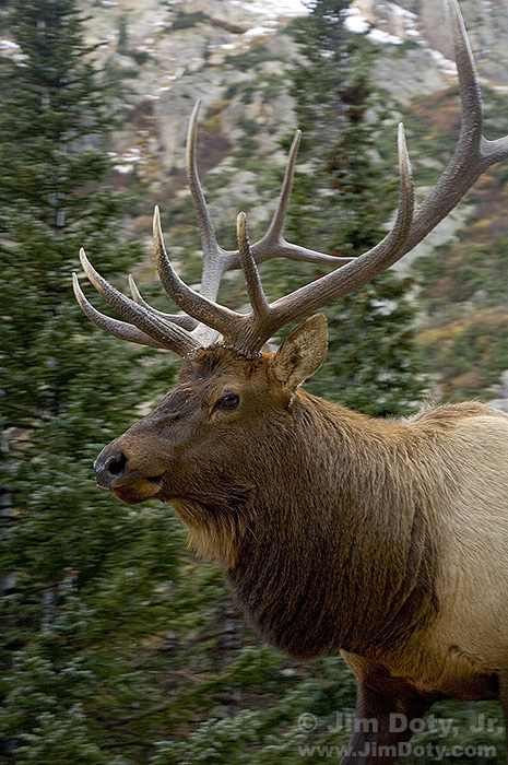 Bull Elk, Fall River Road, Rocky Mountain National Park, Colorado.