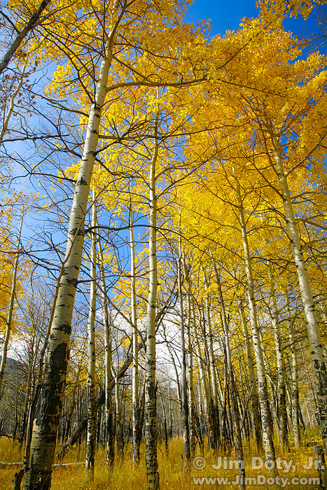 Aspen Grove along the road through Moraine Park. October 12.