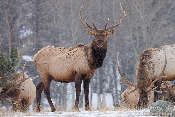 Elk in the Snow, Rocky Mountain National Park