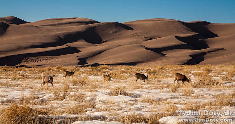 Deer, Great Sand Dunes National Park, Colorado