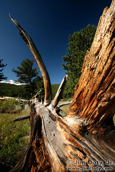 Fallen Tree and Long's Peak.  Hollowell Park, Rocky Mountain National Park