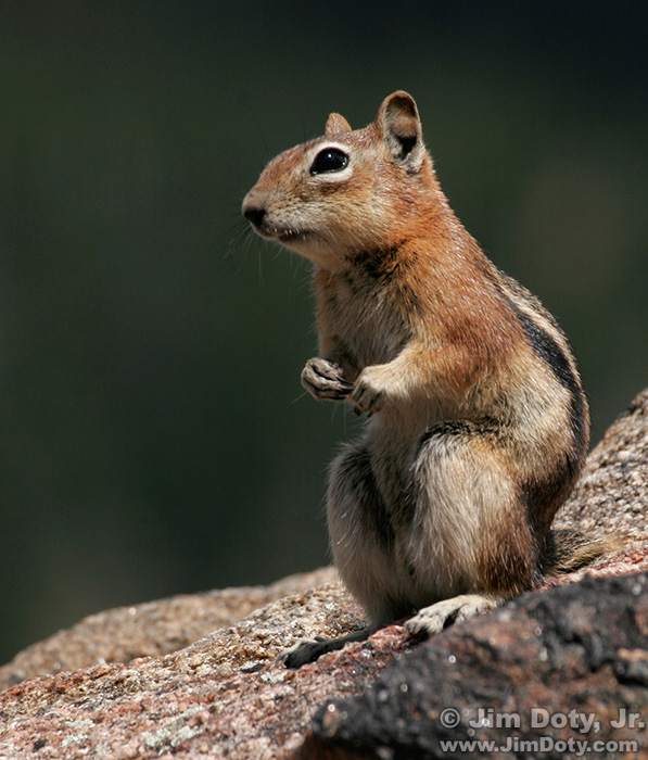 Golden Mantled Ground Squirrel, Colorado