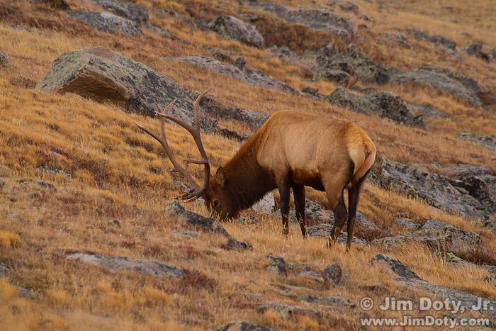 Bull Elk, Trail Ridge Rd, RMNP