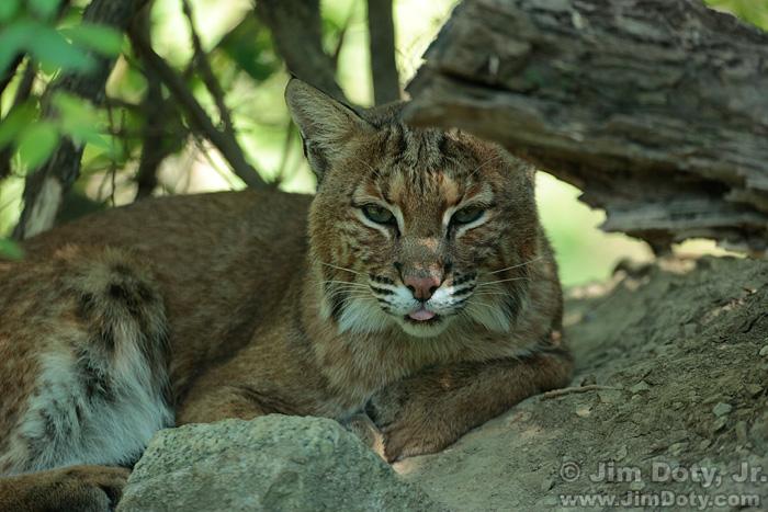 Bobcat, Original