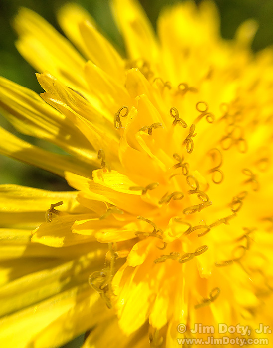 Dandelion photo with an iPhone and an olloclip closeup lens.