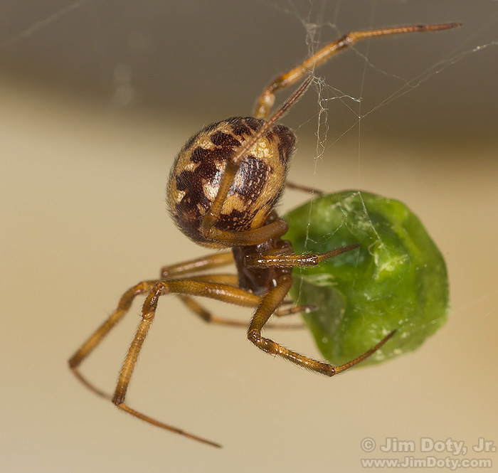 Spider with pea in a kitchen sink