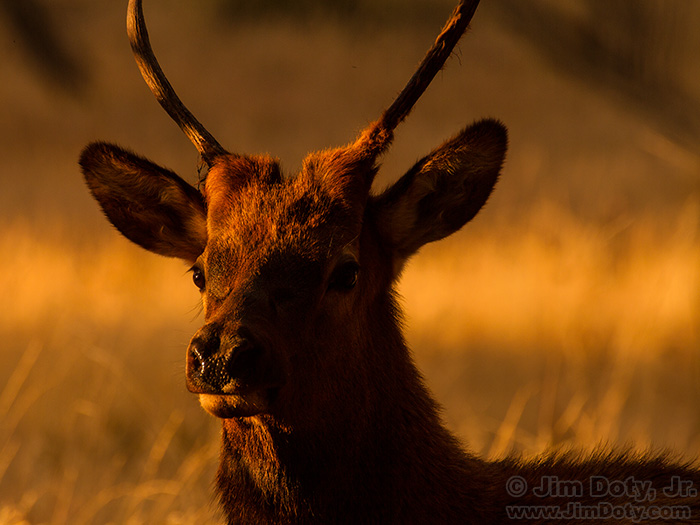 Young Bull Elk at Sunset, Moraine Park, Rocky Mountain National