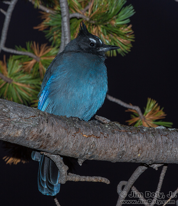 Steller's Jay near Bear Lake. September 28, 2014.