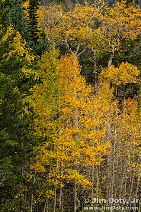 Aspen, Horseshoe Park. Rocky Mountain National Park.