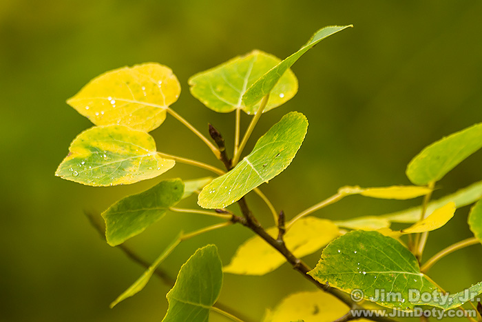 Aspen Leaves, Horseshoe Park
