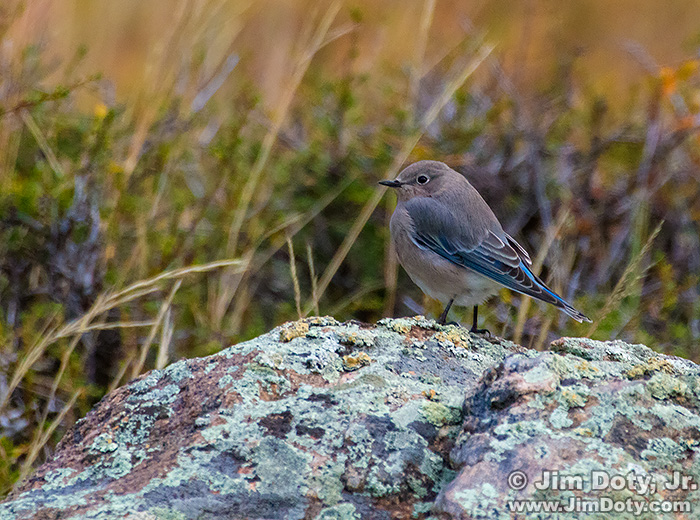 Female Mountain Bluebird, Rocky Mountain National Park.