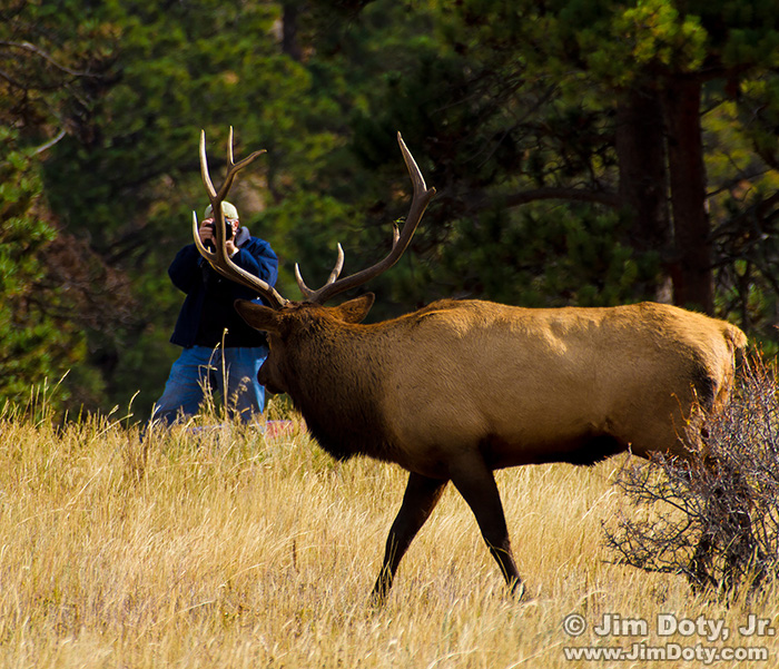 Bull elk. Field trip. Workshop at Rocky Mountain National Park, Colorado.