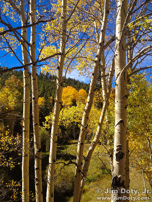Aspen on the road to O'Haver Lake, Colorado.