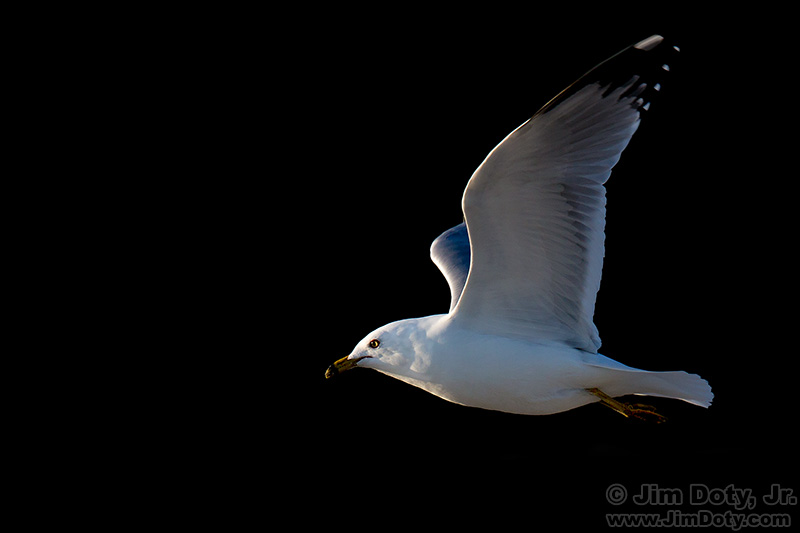 Seagull, North Myrtle Beach, South Carolina. March 16, 2015.