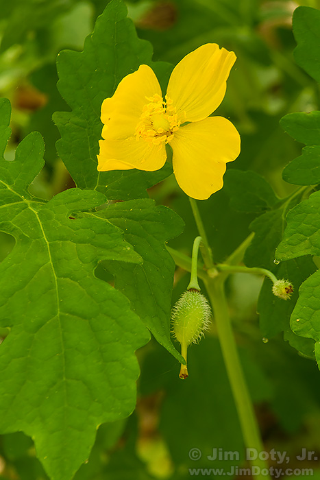 Wood Poppy (Celandine Poppy), West Lake Nature Preserve.