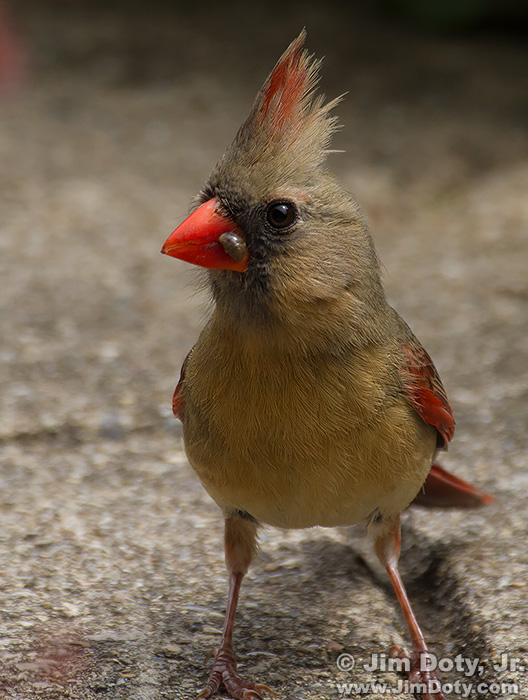 Female Northern Cardinal Bringing Food to the Nest