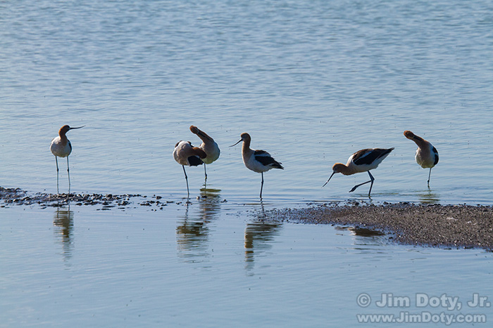 American Avocets, Fremont California