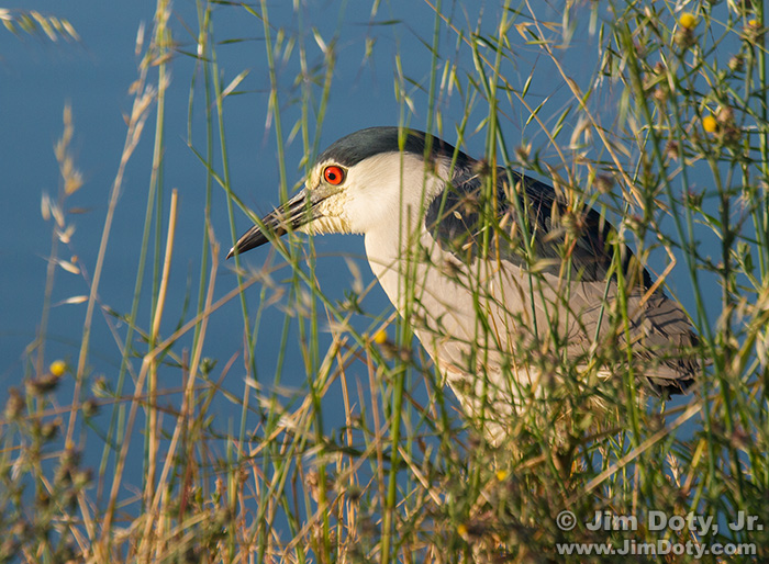 Black-crowned Night Heron, Don Edwards San Francisco Bay NWR