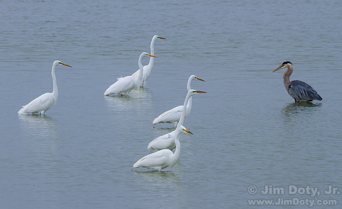 Great Egrets and Great Blue Heron