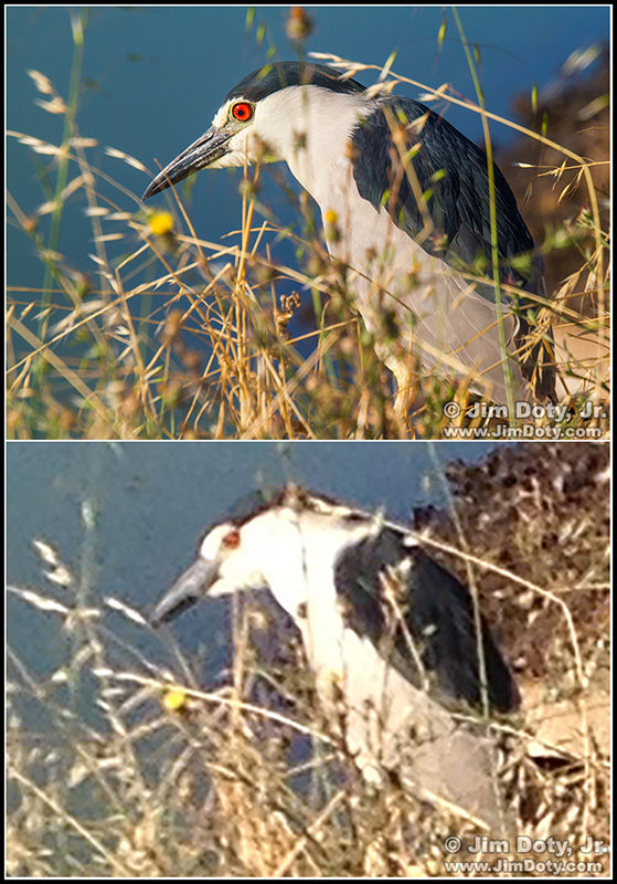 Black-crowned Night Heron. Canon 7D image (top) and iPhone image cropped to match the 7D image.