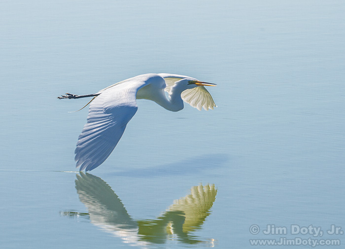 Great Egret in Flight. Don Edwards San Francisco Bay NWR, Fremont, California. June 8, 2015.