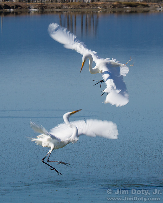Great Egrets, territorial dispute. SFBNWR.