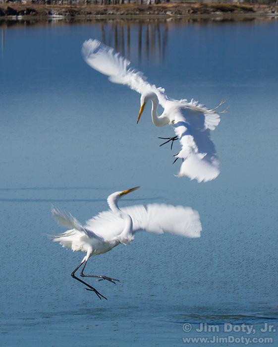 Great Egrets in a territorial dispute. San Francisco Bay National Wildlife Refuge.