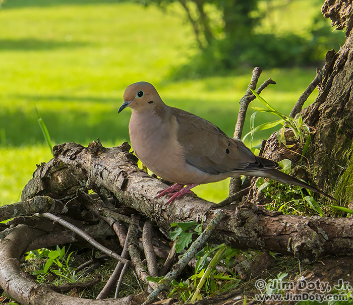 Mourning Dove captured with CamRanger