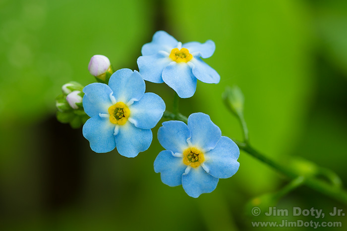 Forget-Me-Nots, Thorne-Swift Nature Preserve, Michigan