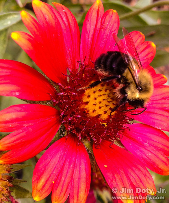 iPhone Photo: Bee and Blanket Flower (click to see a larger version)