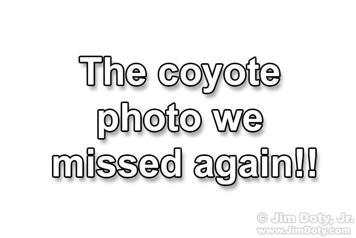 The coyote photo we missed again!!