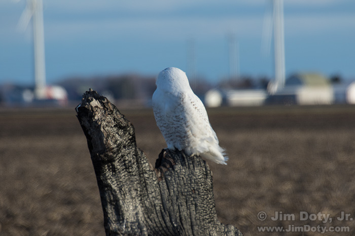 Snowy Owl, Photo Location 1