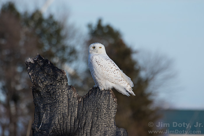 Snowy Owl, Photo Location 2