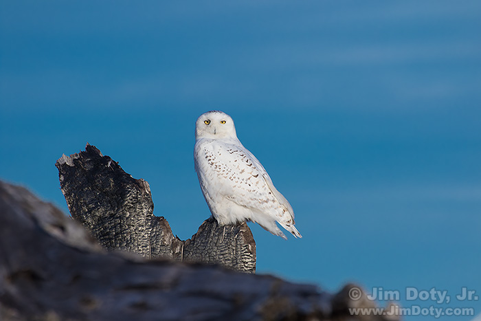 Snowy Owl, Photo Location 3