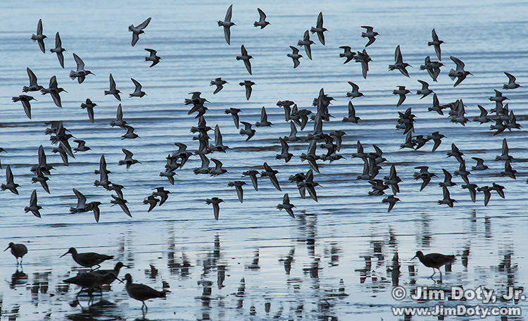 Shorebirds in flight.  Don Edwards San Francisco Bay National Wildlife Refuge.