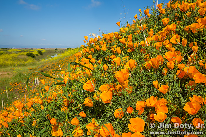 California Poppies. Don Edwards San Francisco Bay National Wildlife Refuge