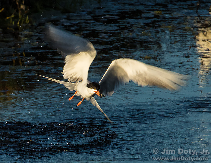 Common Tern with a tiny fish.