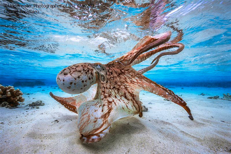 Underwater Photographer of the Year 2017: Dancing Octopus by Gabriel Barathieu