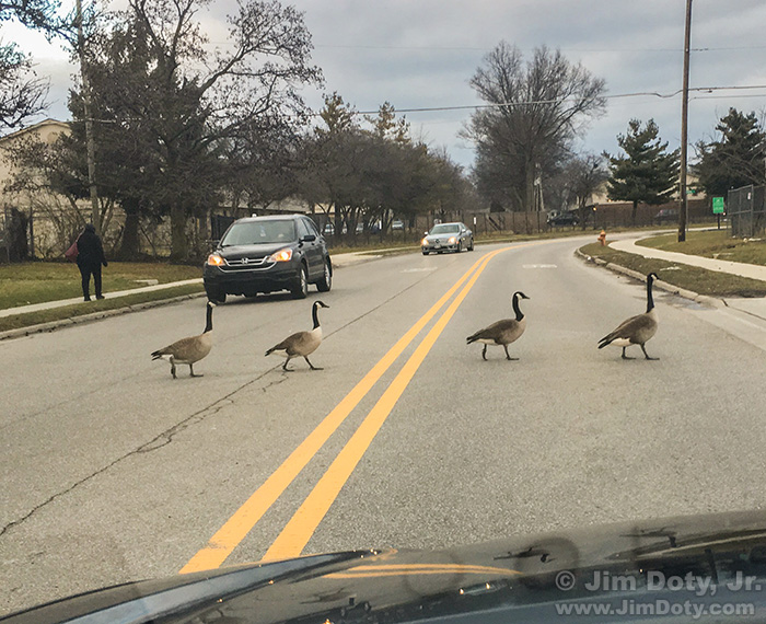 Canada Geese crossing a road and stopping traffic,, Columbus Ohio. February 16, 2016.